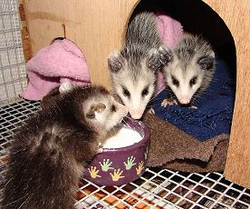 3 orphaned opossums