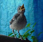 Mockingbird Rescue and Rehabilitation
