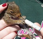 Orphaned gray squirrel